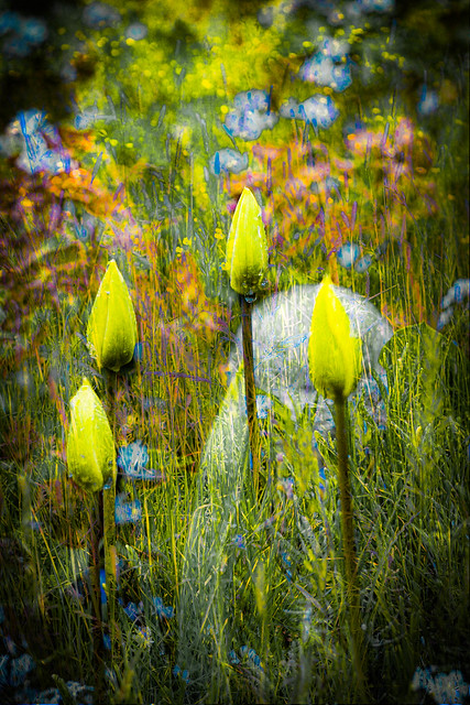 Tulip buds in the garden