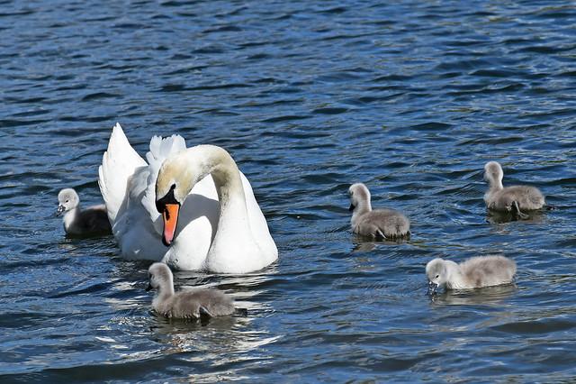 Swan & Sygnets