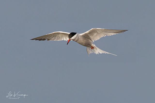 Common Tern | Visdiefje