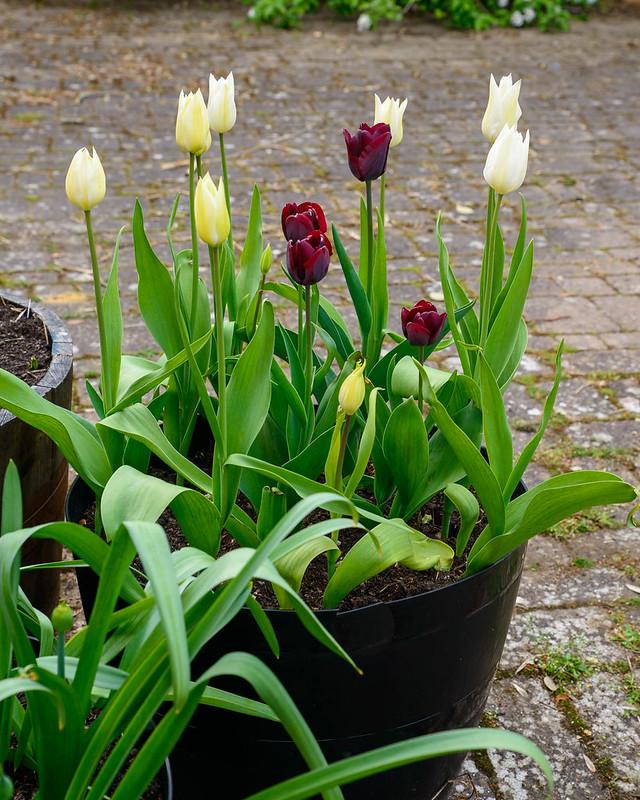 DSC_5955_Tulips_1.jpg