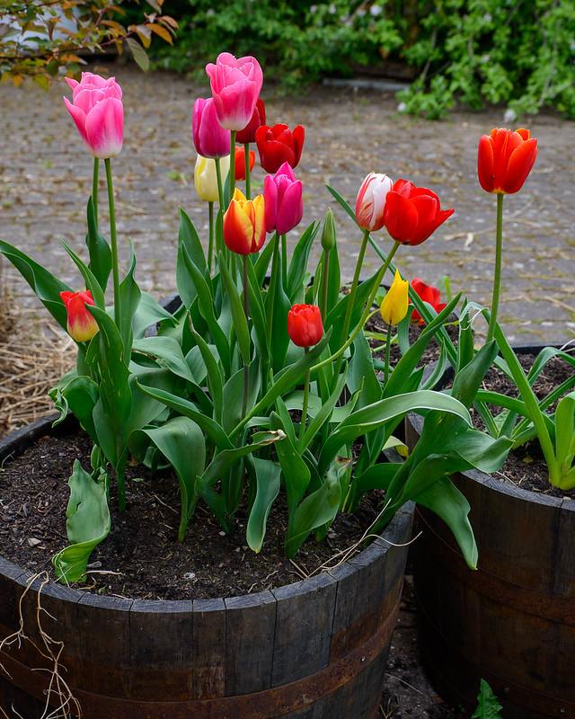 DSC_5957_Tulips_3.jpg