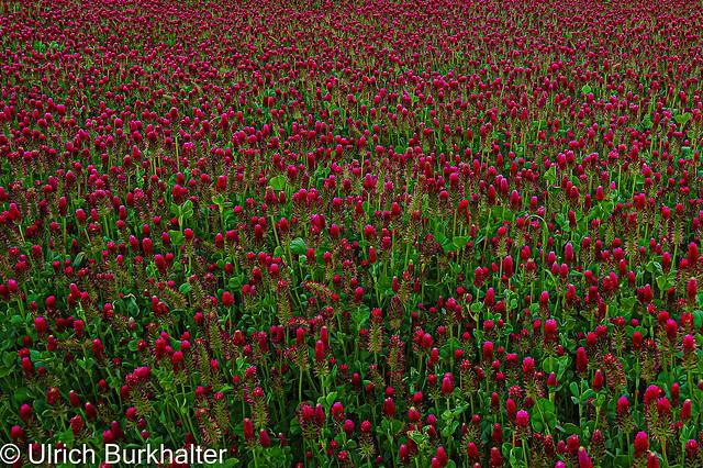 clover field.