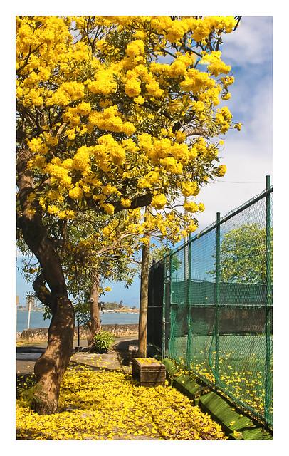 Roble Amarillo (Yellow Oak)