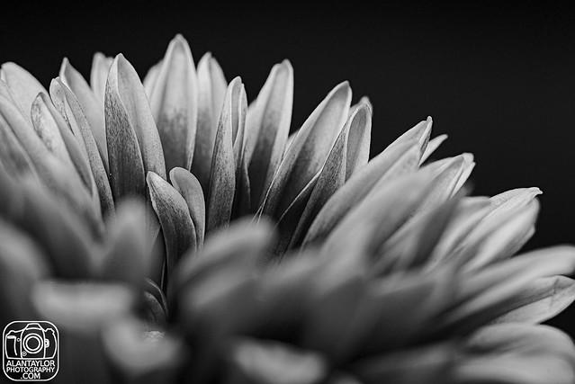 20210514 134_365 chrysanthemums_