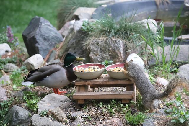 Backyard Red & Fox Squirrels (Ypsilanti, Michigan) - April 30th - May 6th, 2021