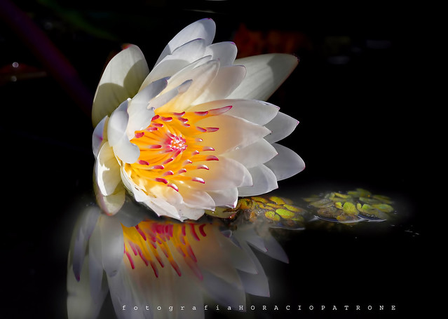- WATERLILY NENUFAR ..your last sunlight  WHITE & RED .. (Nymphaea ) toma en BOTANICO THAYS .Argentina - Buenos Aires .