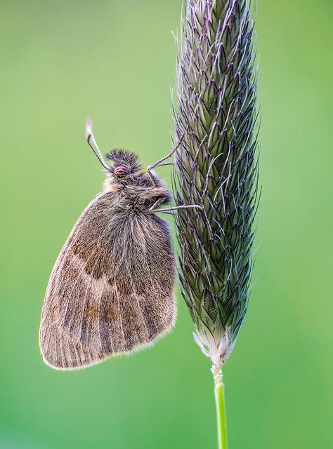 Kleines Wiesenvögelchen | Small heath (Coenonympha pamphilus)