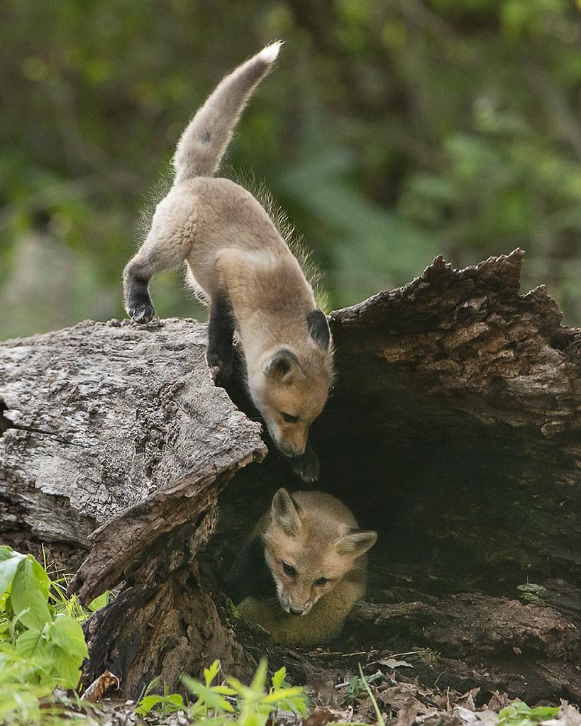 Fox Pups Playing on a log