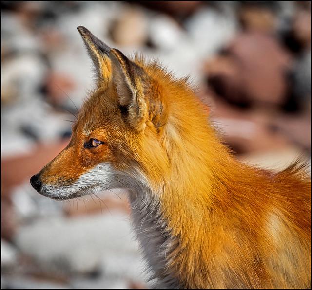Fox Profile