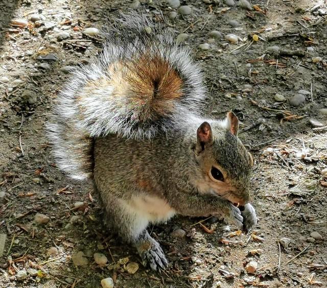 Grey squirrel, Hartsholme Country Park, Lincoln