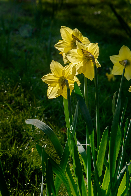 DSC_5779_Daffodils_73.jpg
