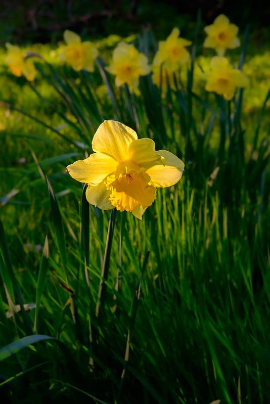 DSC_5840_Daffodils_17.jpg
