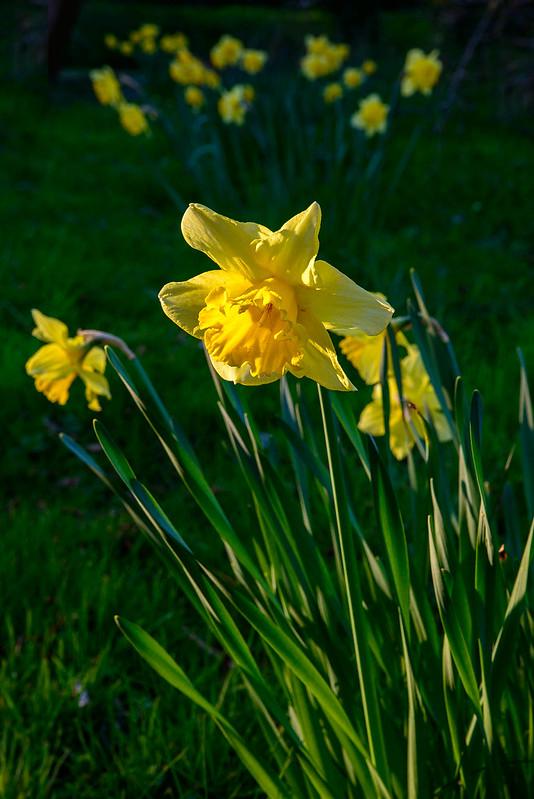 DSC_5856_Daffodils_33.jpg