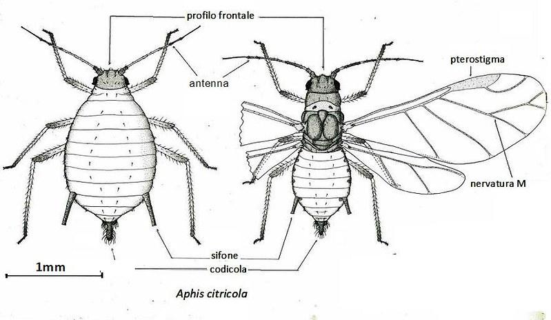Aphris citricola