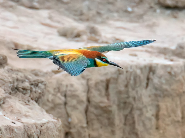 Bee-eater on the hunt