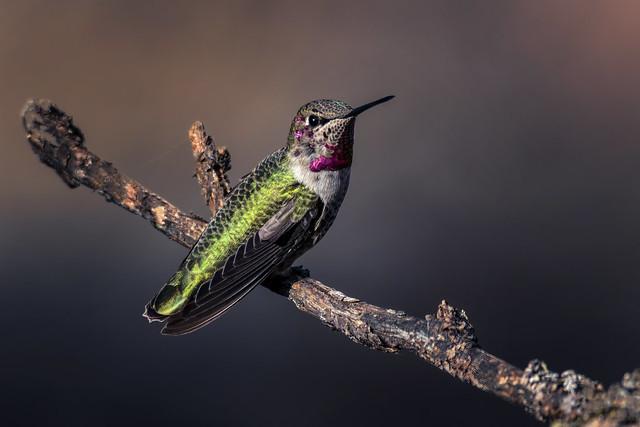 Anna's Hummingbird (Calypte anna) M