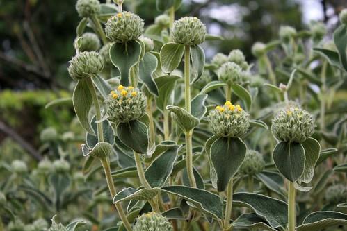 Phlomis fruticosa - sauge de Jérusalem, phlomis arbustif 51179584730_bf169ae3fd