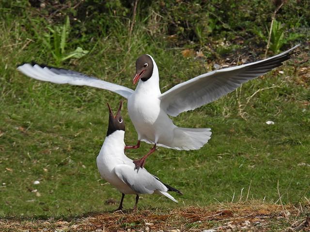 Black-headed Gulls 9.5.21
