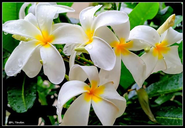 Temple Tree Flowers