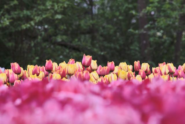 Sea of Tulips / Zee van Tulpen