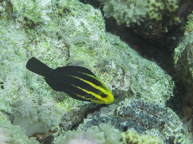 Roundhead Parrotfish - Juvenile - Chlorurus strongylocephalus