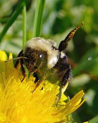 Common Eastern Bumblebee - Giving Warning