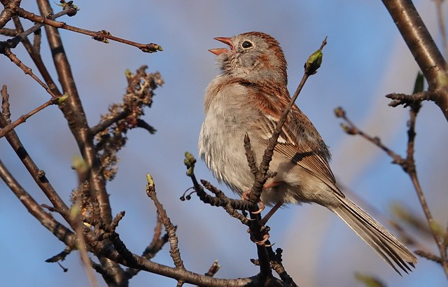 Field Sparrow, Tommy Thompson Park.