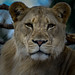 "<p><a href=""https://www.flickr.com/people/154721682@N04/"">Joseph Deems</a> posted a photo:</p>  <p><a href=""https://www.flickr.com/photos/154721682@N04/51179886054/"" title=""Lioness""><img src=""https://live.staticflickr.com/65535/51179886054_79a3302f00_m.jpg"" width=""224"" height=""240"" alt=""Lioness"" /></a></p>  <p>Dallas Zoo</p>"