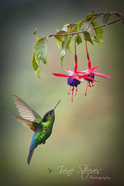 Hummingbird Feeding on Fuschia