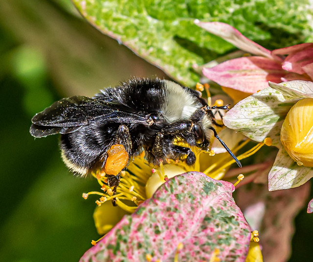Busy Bumble.