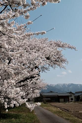 Sakura memories 2021 8