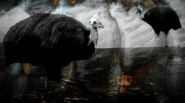 What the cassowary knew