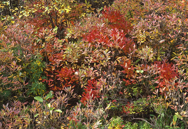 Bushes in Fall, Esker Lakes Provincial Park, Ontario