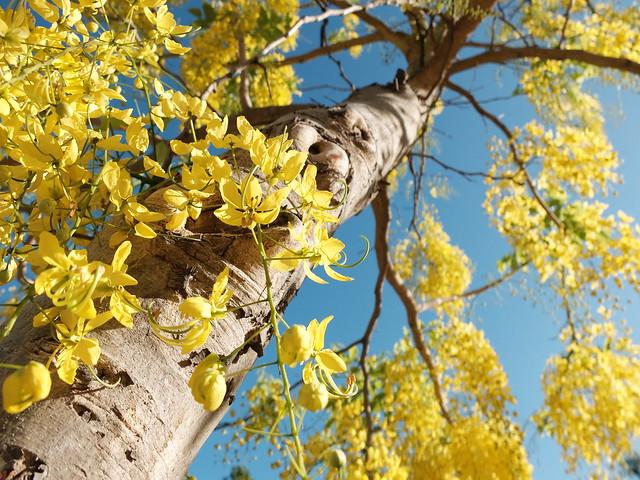 Lovely Season for Golden Shower Tree