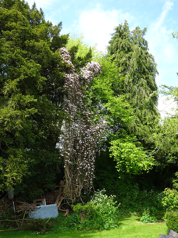 Log shed clematis in bloom