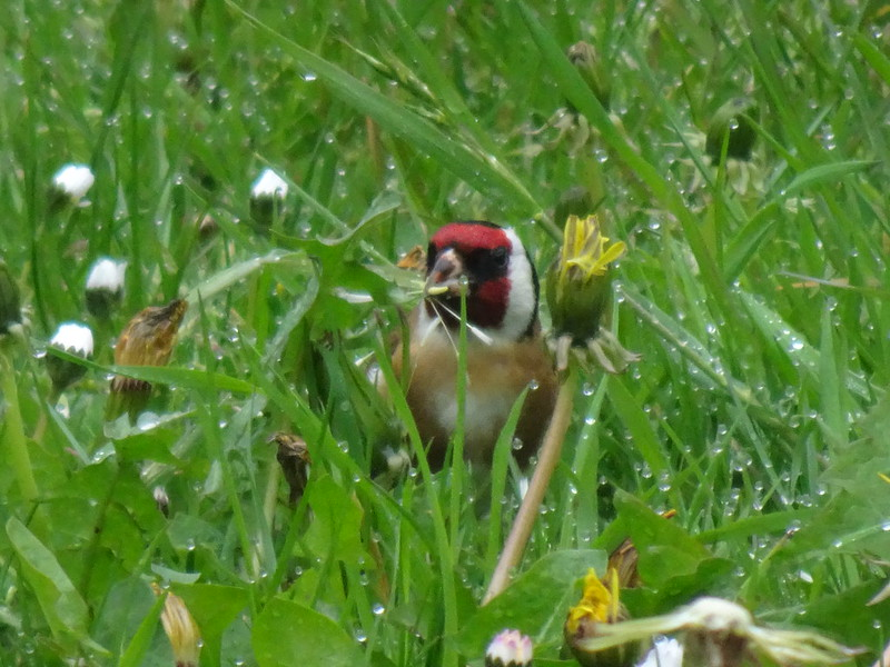 Our first goldfinches