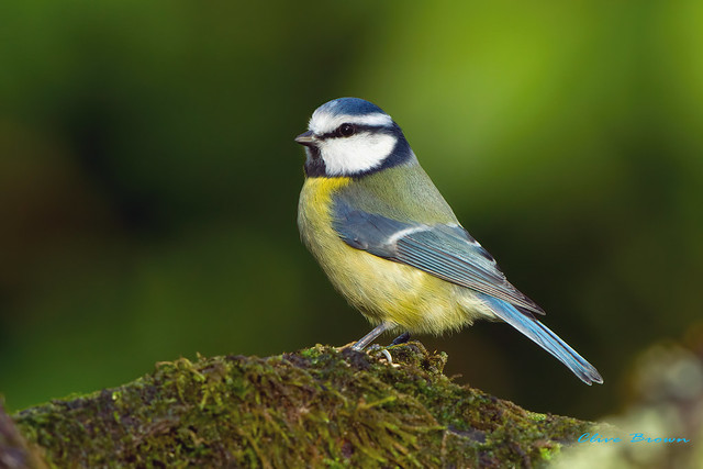 Blue Tit ( Cyanistes caeruleus ) - Sitting Pretty !!