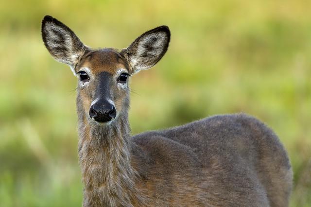 White-tailed deer (Doe) | Morning Light