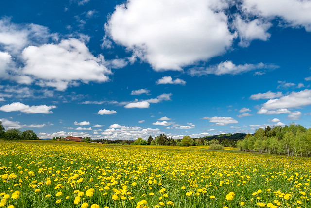 Dandelion field and the sky