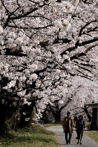 桜の花、舞い上がる道を 2021 2