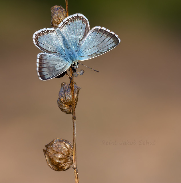 Bleek blauwtje - Chalk-hill Blue - Polyommatus coridon