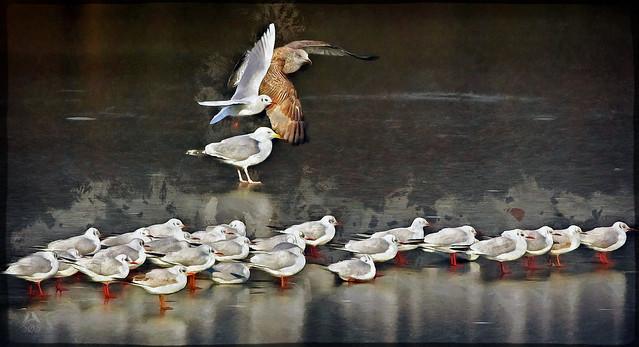 IMGL4608 Hættemåge - Black-headed Gull - Larus ridibundus