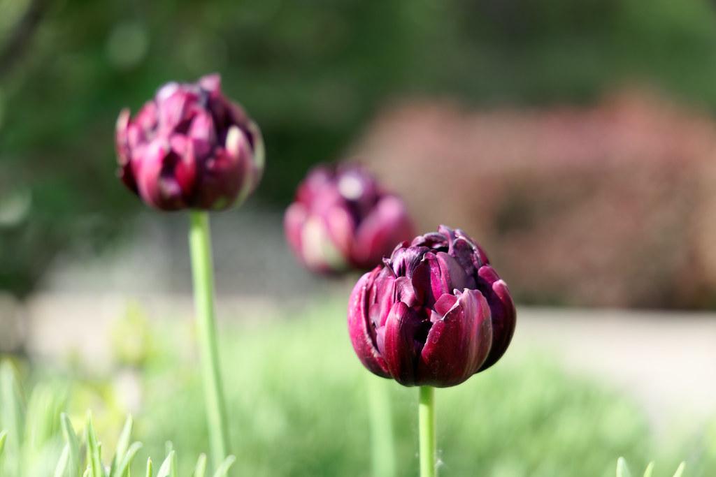 Tulpenartig