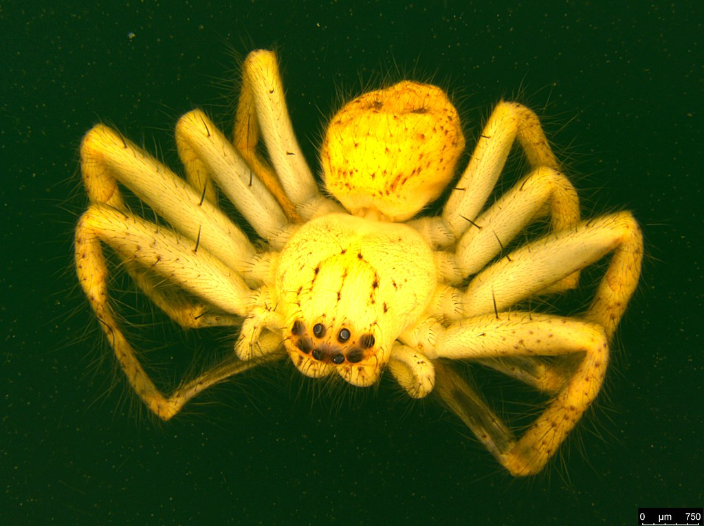 4a - Neosparassus diana (L. Koch, 1875)