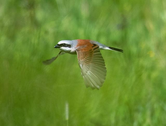 Red-backed shrike - Neuntöter (Lanius collurio)