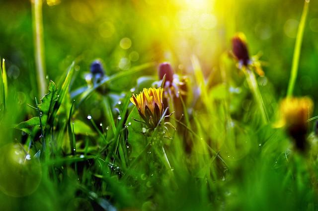 Backlight dandelion