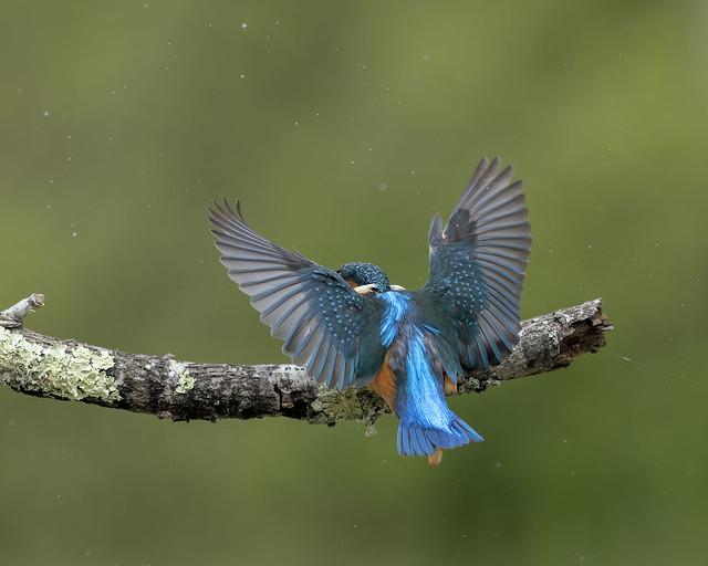 Kingfisher (m)