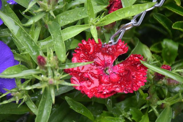 Wet red Dianthus