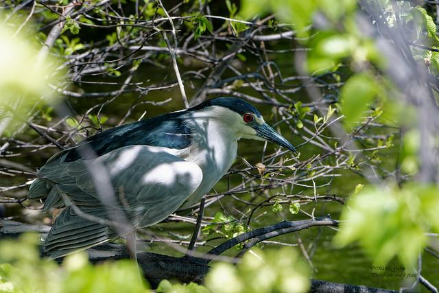 Bihoreau Gris - Night-heron - Nycticorax nycticorax
