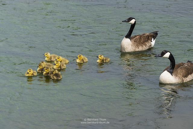 Goose family at the Amper N°3